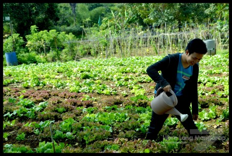 lettus farm